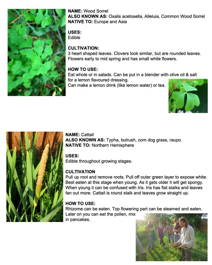 Ottawa Plants_Cat Tail_Wood Sorrel