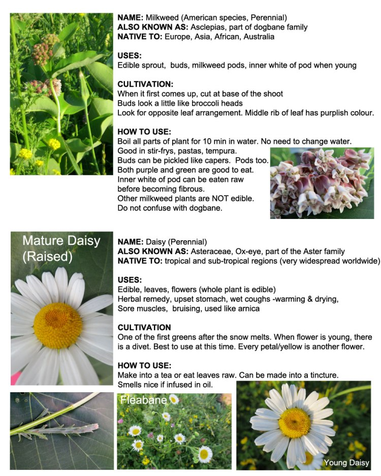 Ottawa-Plants_Milkweed_Daisy