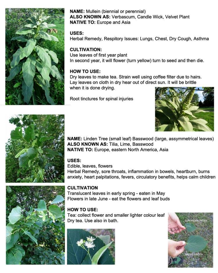 Ottawa-Plants_Mullein_Linden
